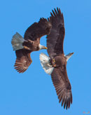 """Bald Eagle Chase over Pohick Bay"" by Gerry Gantt – Photography (Artists' Undertaking Gallery)"