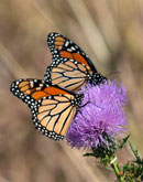 """Monarchs on Field Thistle"" by Gerry Gantt – Gallery Wrap Canvas Photograph"